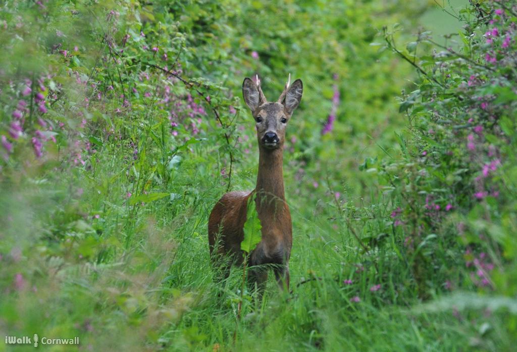 St Wenn Deer